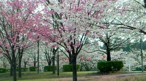 しののめ 桜